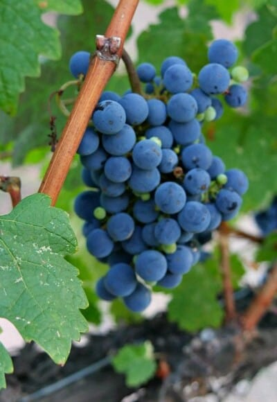 Visit the Temecula wineries on a romantic weekend!